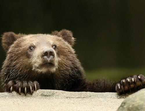 Ursul de la Pralea
